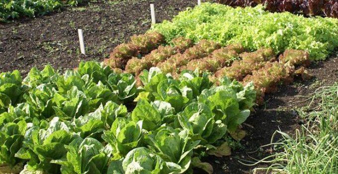 organic-vegetable-gardening