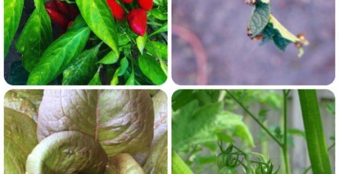 Organic Gardening, Vegetable Gardening Made Simple Through These Tips